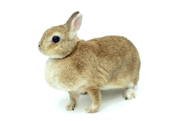 アナウサギ(ネザーランドドワーフ) イメージ